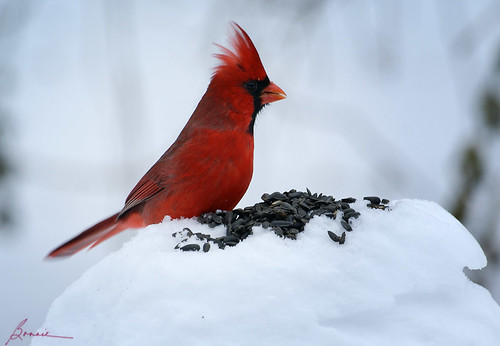 one of the favorite men in my life---Mr. Cardinal