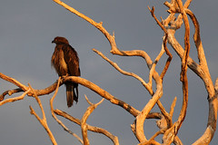 Whistling Kite (juvenile)