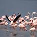 flamingo - takeoff
