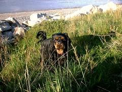 Amy hiding in grass... (Harvey Dogson) Tags: amy mitzy amymit harveydogson kingcharlescavalier ruby tricolor blackandtan dog wakies lyn mike cumbria newbiggin sniffs puppy friends flickrlovers dogs 5bestdogs kingcharles spaniel