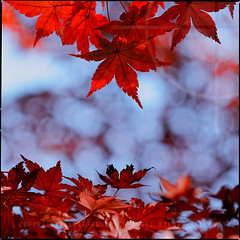 Autumn maple [momiji] leaves; Yoyogi Park, Tokyo (Alfie | Japanorama) Tags: park blue autumn red orange fall sunshine japan season asian japanese tokyo maple asia afternoon bokeh sunday momiji acer yoyogi koen autumnal