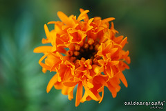 Outdoorgraphy : Top View (Sir Mart Outdoorgraphy) Tags: orange flower macro green yellow dof bokeh d0f macroflowerlovers penangflickr bokehrama awesomeblossoms sirmart outdoorgraphy outdoorgraphy penangflickrgroup