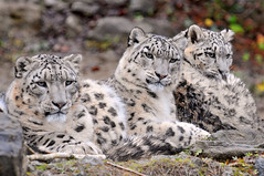 A happy family (Tambako the Jaguar) Tags: wild cute cat zoo cub schweiz switzerland three big nikon feline father zurich mother kitty posing fluffy son together bigcat zrich wildcat 1001nights lying snowleopard felid d300 panthera schneeleopard supershot snowkitty uncia topseven impressedbeauty loparddesneiges panthredesneiges damniwishidtakenthat flickrlovers goldenheartaward