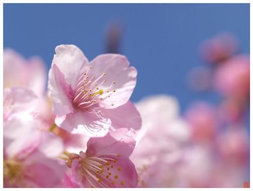 Cherry blossoms 090305 #08