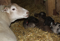 Katahdin ewe with crossbred Suffolk lambs