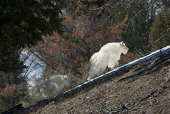 Snake River Mountain Goats (Dark_muse) Tags: winter baby snow mountains nature delete10 delete9 delete5 delete2 nikon outdoor delete6 delete7 save3 goat delete8 delete3 delete delete4 save2 hike save4 save5 d200 wilderness save6 save1 robs carrob
