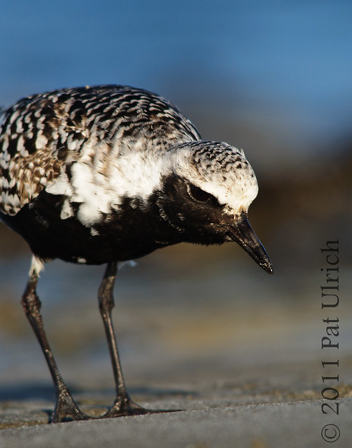 Black-bellied plover watching for worms - Pat Ulrich Wildlife Photography