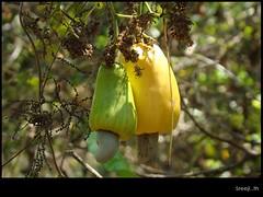 green & yellow (sreeji..) Tags: green net nature yellow fruit photography photo photos sony kerala nut cashew dsc h7 anacardiaceae sreejith kannur anacardiumoccidentale anacardium inapp wwwsreejicom thaliparamba  sreejinet kenoth