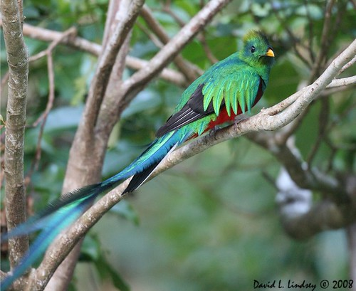 Resplendent Quetzal (Male) by David Lindsey