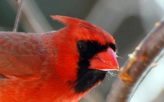 Red - Bird - Northern Cardinal - He looks friendly (blmiers2) Tags: red usa newyork bird nature beautiful crimson birds closeup scarlet geotagged rouge nikon mask cardinal photos bokeh wildlife beak birdfeeder crest explore photograph faves ruby northern avian smallbirds cardinaliscardinalis northerncardinal wildbirds passeriformes catchycolorsred backyardbirds redfeathers cardinalidae birdphoto cotcpersonalfavorite flyinganimal cardinalbird northernbirds statebirds wingedwonder cardinalbirds ttcu d40x cardinalphoto cardinalpictures cardinalbirdpictures blm18 blmiers2