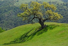 Old Oak Tree (Michael Graupe) Tags: california tree green spring oak meadow alamedacounty sunolregionalwilderness naturescall naturesgallery treeofhonor