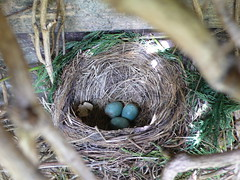 Birds nest - spotted while removing overgron vines in back garden
