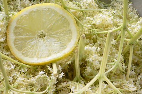 Holunderblüten in Zitronenwasser