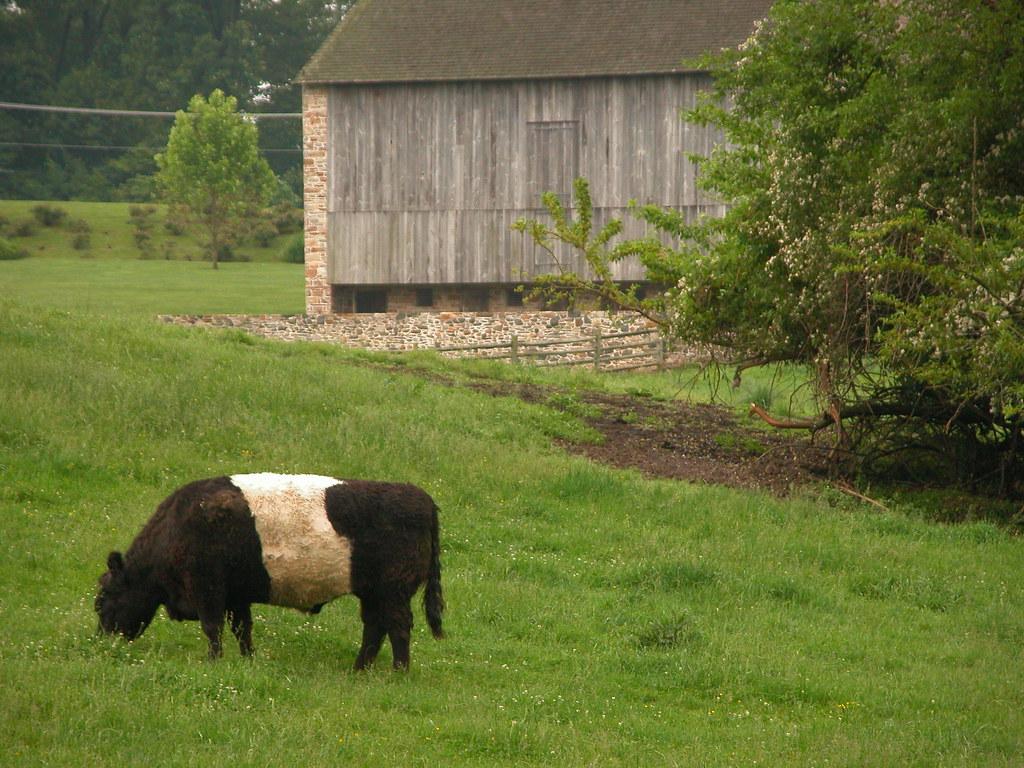 157.365 - Oreo Cookie Cow