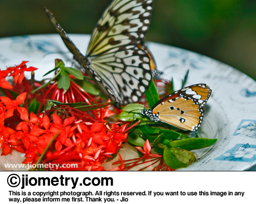 Paper kite and another butterfly sharing some flower nectar meal
