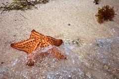Starfish (-Passenger-) Tags: ocean santa santacruz beach colombia starfish bokeh symmetry depthoffield cruz algae echinoderm seastar estrellademar cruzadas asteroidea islatintipán tintipanisland archipiélagodesanbernardo santacruzdelislote