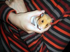 20080415-22 (kayako_) Tags: hamster pon