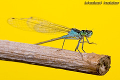damsel (khaleel haidar) Tags: pictures macro sports canon one 4 exhibition micro kuwait  6th q8 damsel     haidar  khaleel   of       khaleelphtocom
