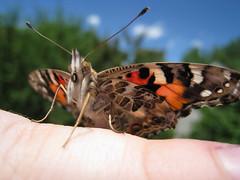 08 06 09_0257.jpg (lstroyan) Tags: butterfly butterflies paintedlady lstroyan