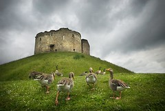 Oh, the grand old duck of York.... (gms) Tags: york uk england cloud castle geese duck yorkshire hill goose cliffordstower nurseryrhyme yorkcastle traditionalsong