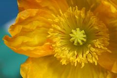 Mohn_310508_01 (alstroemeria1) Tags: schweiz pflanzen luzern gelb makro farben papaver papaveraceae projekte kriens blten amstutzstrasse pflanzensystematisch