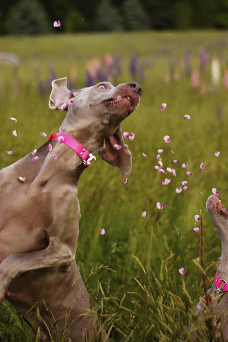 Absolutely Beautiful Picture of Weimaraners