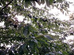 Schwarze Kirschen am Baum