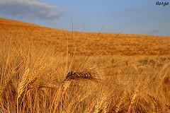 Mare d'Oro (Gorgo07[ tutto un equilibrio sopra la Follia]) Tags: estate siena fotografia grano gmt gorgo eos400d
