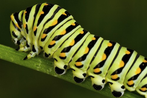 Swallowtail Butterfly Caterpillar