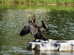 cormoran (perfectday_s) Tags: lake bird nature water wing feather lac cormorant oiseau plume aile cormoran naturesfinest abigfave avianexcellence theunforgettablepictures