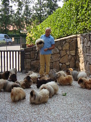 papy (fantasie country) Tags: family dog cane toy pekingese kennel breeder peke pechinese