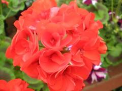 Brilliant Red Geranium (1)