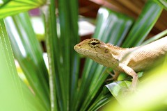 Phuket Lizard (TheTravellers) Tags: macro thailand asia lizard phuket potofgold naturesfinest 5photosaday ultimateshot goldstaraward earthasia worldtrekker