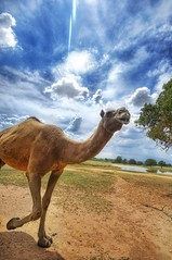 Camel in the Wild (Stuck in Customs) Tags: wild summer wallpaper sky panorama motion texture animal animals clouds photography nikon asia shoot mood photographer shot desert natural image live details d2x perspective picture blues fast running run dromedary patient camel oasis pro portfolio capture tones ungulate hdr cameltoes highquality stuckincustoms treyratcliff