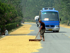 Drying rice on roadside near Huangchuang, Henan Province, China
