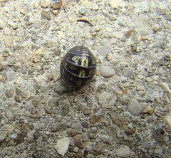 Ball O pillbug