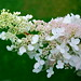 Photo: Hydrangea paniculata 'Phantom'