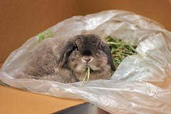 Andora and her box of hay (jade_c) Tags: pet rabbit bunny animal mammal singapore opal  hollandlop andora  lagomorph tamronspaf90mmf28dimacro opalhollandlop