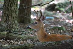 Whitetail Deer (johnk6) Tags: usa newjersey deer montague