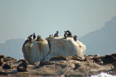 Birds and seals (ivesmaria) Tags: africa bird animal southafrica island bay seal seals false southafricafavorites