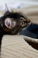 Fluffy (lubright) Tags: kitten fluffy sweetpea