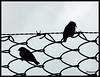 en libertad (dimural) Tags: bird reja panasonic silueta pajaro tcf cruzadas ltytr2 ltytr1 photofaceoffwinner photofaceoffplatinum a3b photofaceoffchallengesgold fz18 pfogold thechallengefactory 6retos6 jan09pfobrackets