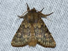 Brindled Ochre (Dasypolia templi) (Ardeola) Tags: moth lepidoptera nattfly brindledochre dasypoliatempli tempelfly dasypolia
