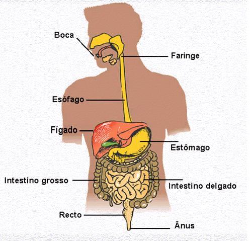 O nosso aparelho digestivo