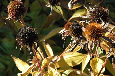 dead cone flowers