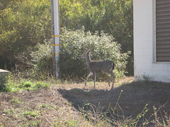 Deer Flees Approaching Cyclists IMG_1784.JPG Photo