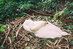 Nest Nap (FernShade) Tags: bird nature swan nest stanleypark lostlagoon muteswan wwwstanleyparkswanscom swansofstanleypark swansoflostlagoon lostlagoonswans stanleyparkswans muteswansofstanleypark