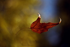 Happy Bokeh Wednesday! (Jesse Kruger) Tags: sky motion blur tree fall leaves leaf bokeh falling explore f18 capture canonef50mmf18ii niftyfifty hbw bokehlicious goldstaraward happybokehwednesday rubyphotographer