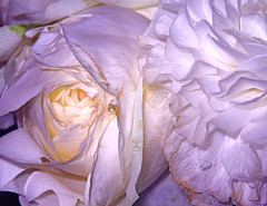 rose...the end...but always beautiful (hassare) Tags: flower fleur rose loseup excapture astoundingimage awesomeblossoms
