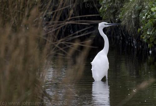 Egret at Silver Strand